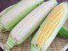美瑛のとうきび 黄色と白 各6本計12本 約5kg
