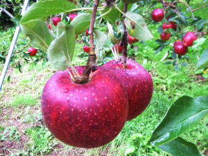 名月園のりんご