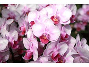 椎名洋ラン園の胡蝶蘭