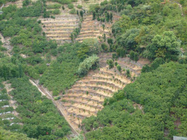 みかん栽培に適した最良の土質の段々畑で潮風と太陽いっぱいに浴びて育てた有田みかんです(2)