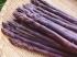 アク・デ・パンケ農園の紫アスパラ